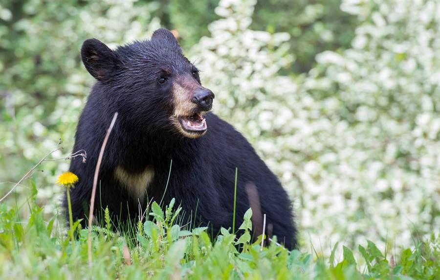 黑熊從灌木叢裡冒出,看到慢跑妹在前面,便上前試圖摸對方(示意圖/達志影像)