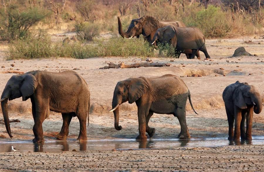 非洲國家辛巴威也爆出至少22頭大象離奇死亡的案件,當局初步排除盜獵等非法行為,推測可能是細菌感染所致。(資料照/路透社)