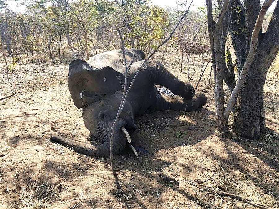 非洲國家辛巴威爆出至少22頭大象離奇死亡的案件,當局初步排除盜獵等非法行為,推測可能是細菌感染所致。(圖/美聯社)