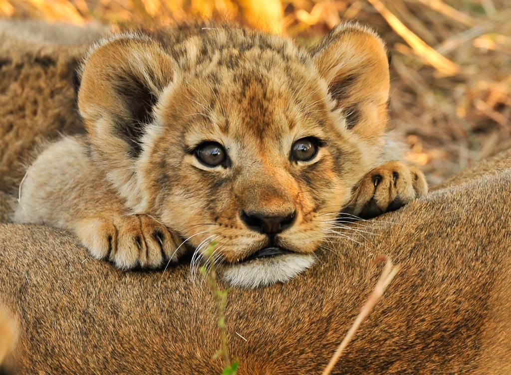 2幼獅頻頻偷跑出去玩,讓母獅超級火大(示意圖/達志影像)