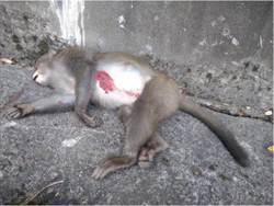 玉山又有獼猴遭路殺 「胸流血握拳」橫躺角落