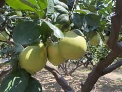 西湖文旦柚盛產 農委會柚香券明起開始登記