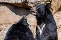 山域搜救巧遇2大2小台灣黑熊家族覓食 珍貴影片曝光