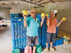 雲林街友幫忙管理 文旦收成增2000斤