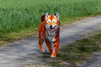 街頭出現猛虎?流浪狗被惡作劇慘變「跳跳虎」