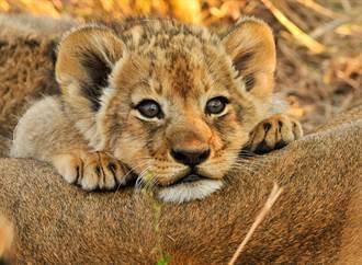 2幼獅偷跑出去玩掉入坑 母獅怒叼回家秒聽話屁顛跟上