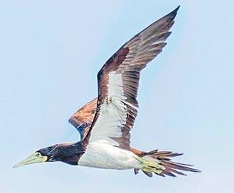 鉤傷喙線纏翅 白腹鰹鳥受酷刑