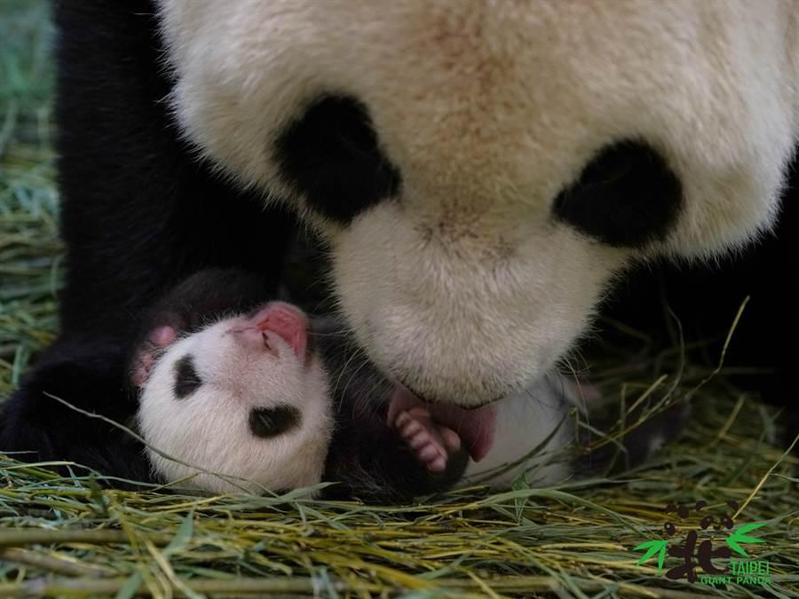 大貓熊圓圓每天幫圓寶舔乾淨身體,畫面非常可愛(圖/臺北市立動物園提供)