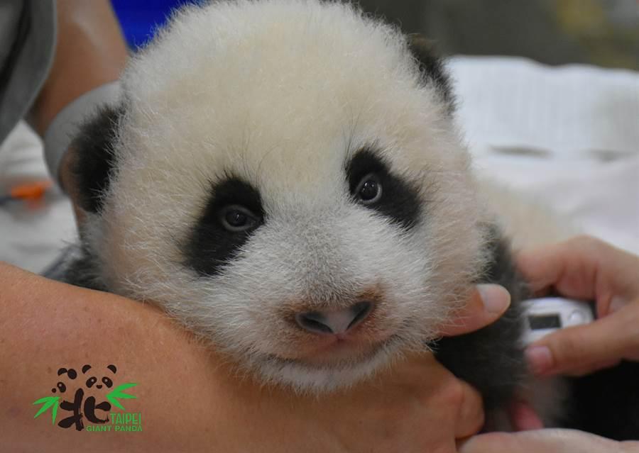 「圓寶」眼睛又大又圓,體重與身形都超前姊姊(圖/臺北市立動物園提供)