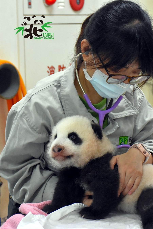 獸醫師在為圓寶進行聽診(圖/臺北市立動物園提供)