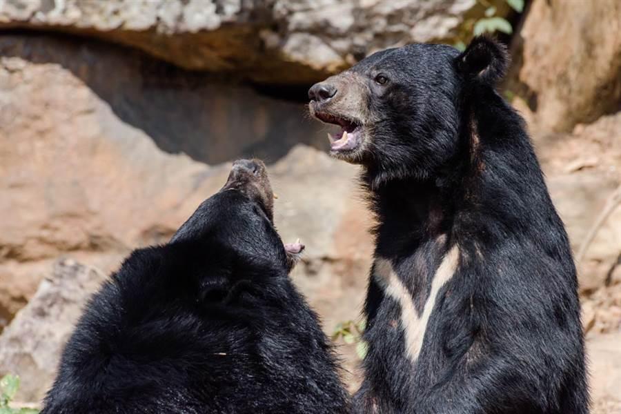 1989年依據《野生動物保育法》,台灣黑熊被列為瀕臨絕種的保育類野生動物。(示意圖/達志影像)