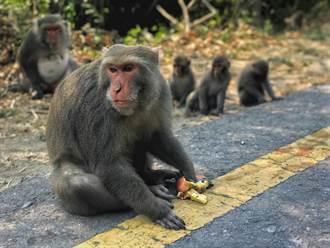 小獼猴餓壞亂入住宅翻垃圾桶 被驅趕好淡定民眾嚇壞