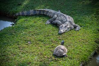 鱷魚浮水面發呆 調皮龜大膽擊掌網狂冒冷汗