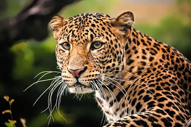 豹闖入飯店接待區,與遊客距離非常近(示意圖/達志影像)