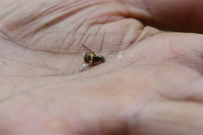 曹燕銘以友善耕作方式經營農地,不使用化肥、農藥,常引來果蠅叮咬作物,曹燕銘說,芭樂被這種果蠅叮咬很快就會爛掉。(巫靜婷攝)