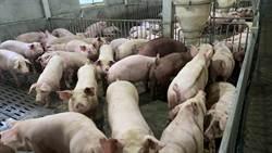 美豬加工後難辨 養豬戶:餐廳要標肉品來源