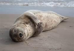 海豹原來是這樣睡「像鍋貼被扔進了鍋」