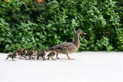 帶8寶逛街回頭一看全失蹤 鴨媽媽慌了瘋狂轉圈