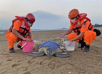 今年第1起紀錄 保育海龜迷途擱淺小金門