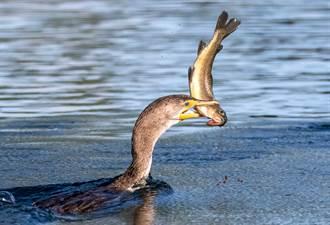 貪心水鳥慘死沙灘 口中含「最後晚餐」肥到吞不下肚