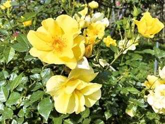 臺北玫瑰園700種玫瑰 啟發家庭園藝計畫