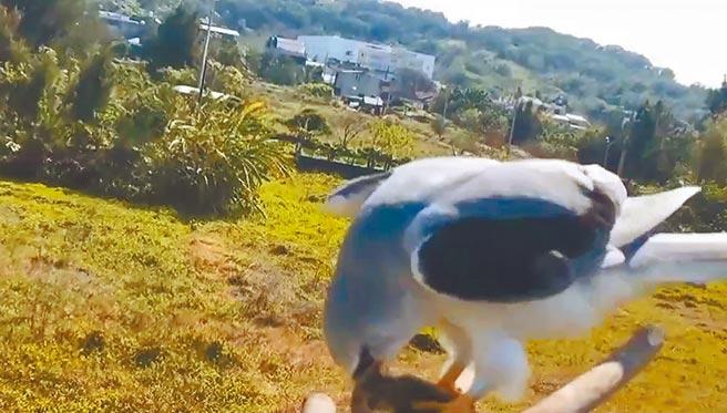 圖為黑翅鳶叼回老鼠在棲架上進食。(曹燕銘提供)