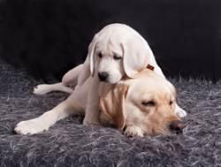 短腿小白狗想爬餐桌 拉拉躺地慘淪「腳踏墊」