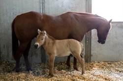 科學家成功複製蒙古野馬   瀕危物種的新希望
