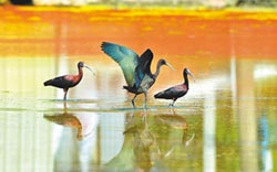彩䴉幼鳥現蹤 在台繁殖首見