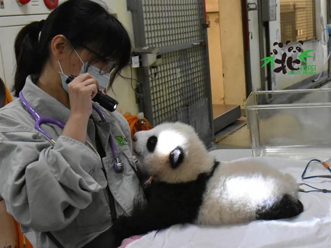 獸醫用手電筒檢查圓寶眼睛時,發現牠的瞳孔對光線有反應。(圖/臺北市立動物園提供)