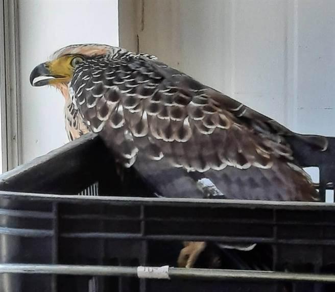 大冠鷲蜷縮在塑膠貨籃角落,十分害怕。(圖/黃順昱授權提供)