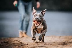比特犬殘暴式攻擊非天性 動物專家:有問題的是人