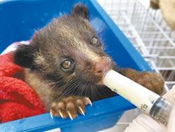 野生動物醫院餵奶 幼白鼻心超萌