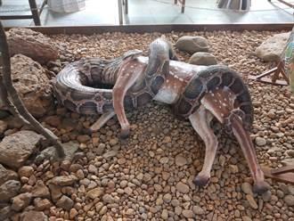 3公尺巨蟒豪吞整頭鹿 吐出屍體後離奇慘死