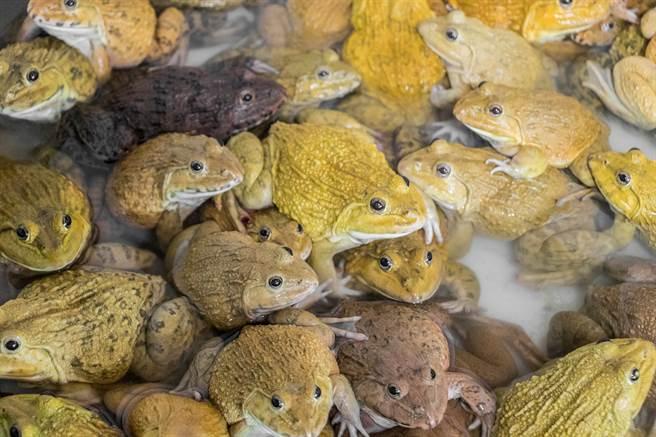 飼料盆中的蟾蜍一口吃掉蟲,讓其他3名同伴爆氣(示意圖/達志影像)