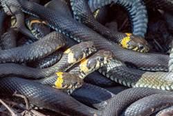 家中翻出「281條蛇」 整齊排開員警嚇到頭皮發麻