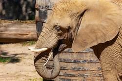 遊客嚇見大象阿里狂吞便便 園方揭密驚人妙用