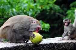 猴子也來採柚子 東河鄉農民傷腦筋