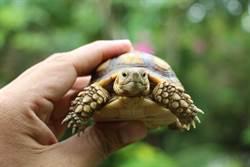大學生隔8個月回宿舍 驚見寵物龜「活活曬乾」剩骨架
