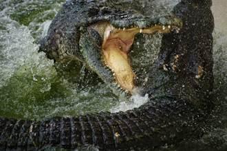 巨鱷大口啃食水牛屍 瞬間湧20隻鱷魚包圍激戰
