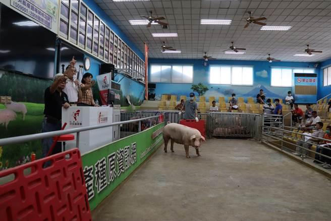 台灣每年拍賣800頭種公豬與250頭種母豬,拍賣收入總計為4000萬元,影響到養豬產值30億元。(劉秀芬攝)