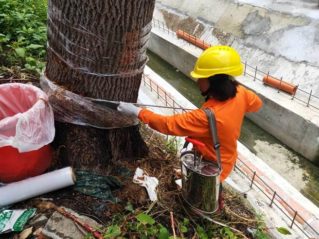 龍潭樟樹遭環狀剝皮,熱心護樹業者協助救護。(桃園市政府農業局提供/黃婉婷桃園傳真)