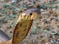 眼鏡蛇誤闖黏到蟑螂屋眼神死 獸醫搶救超崩潰