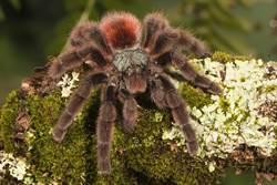 巨無霸蜘蛛懸吊半空「吃鳥」 45秒進食畫面太驚悚