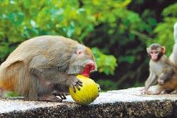 獼猴偷吃兼搗蛋 柚農傷腦筋