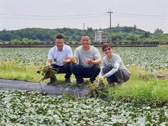 林丙火生態菱角田 與水稚友善共存