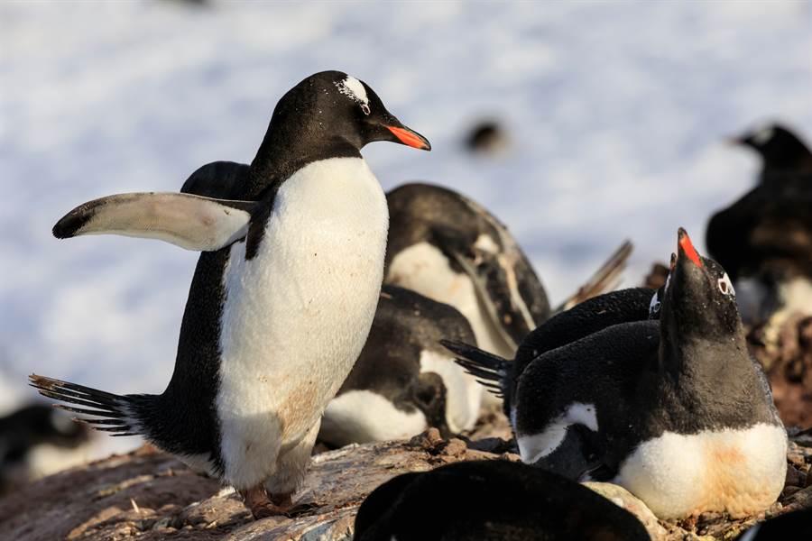 動物園中的企鵝集體倒地,讓人誤以為是中暑(示意圖/達志影像)