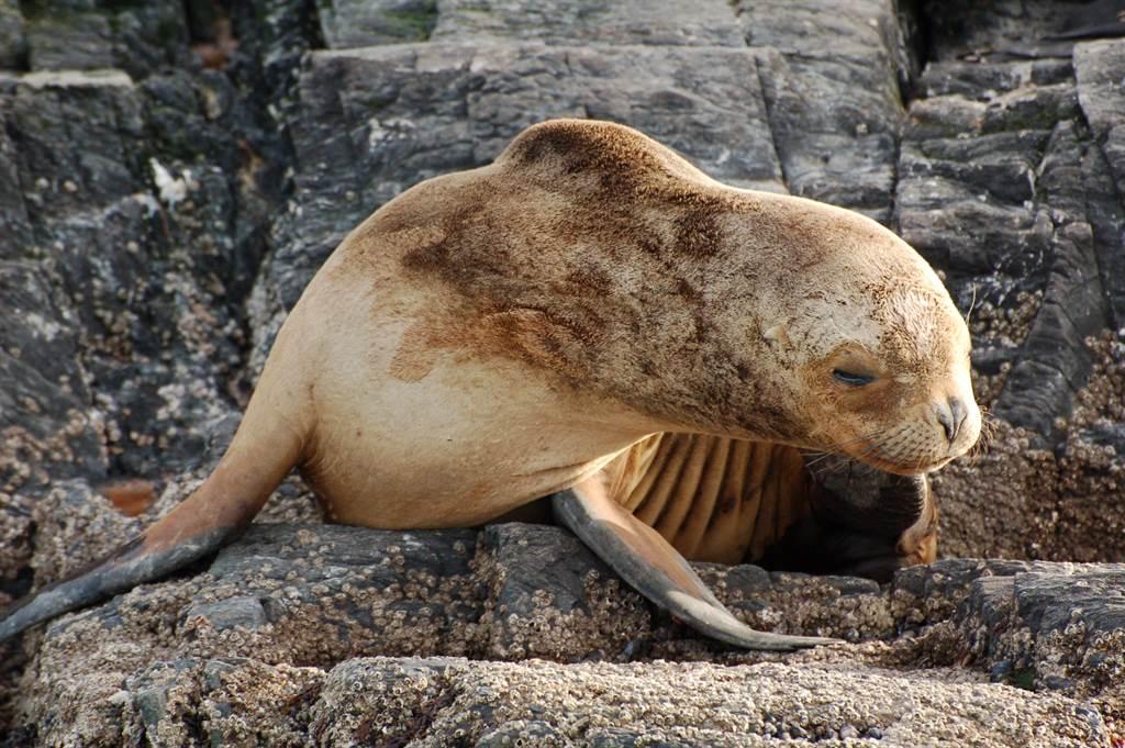 金毛海狗站在同伴中非常顯眼(示意圖非當事海狗/達志影像)
