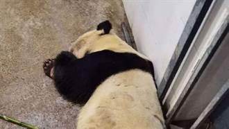木柵動物園「圓仔」的阿嬤癲癇亡 保育員淚曝生平:牠是英雄