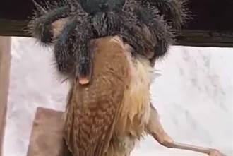 巨大蜘蛛懸掛空中「吞鳥」! 45秒驚悚進食畫面曝光